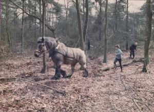 9, belgisch trekpaard helpt 2 dagen