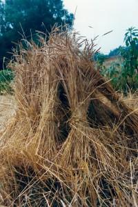 P, landbouw, graan te drogen in schoven