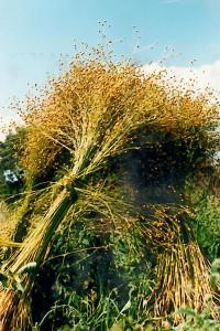 P, landbouw, oogsten van vlas